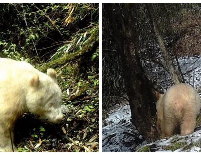 urs albinos filmat in china
