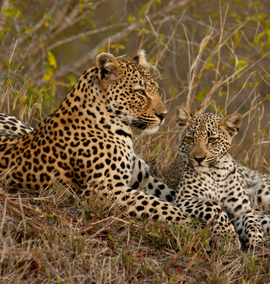 Leopard,With,Cub,Sitting,Beside,Her