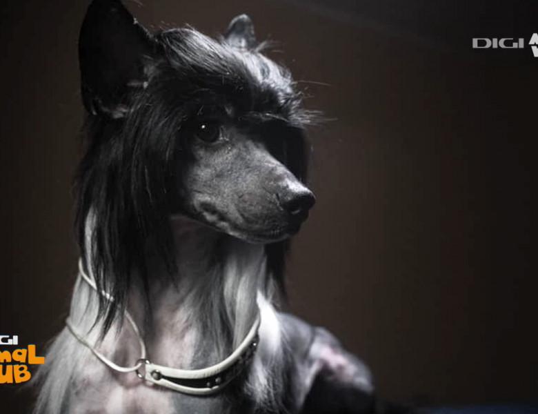 câine-chinezesc-cu-creastă 6