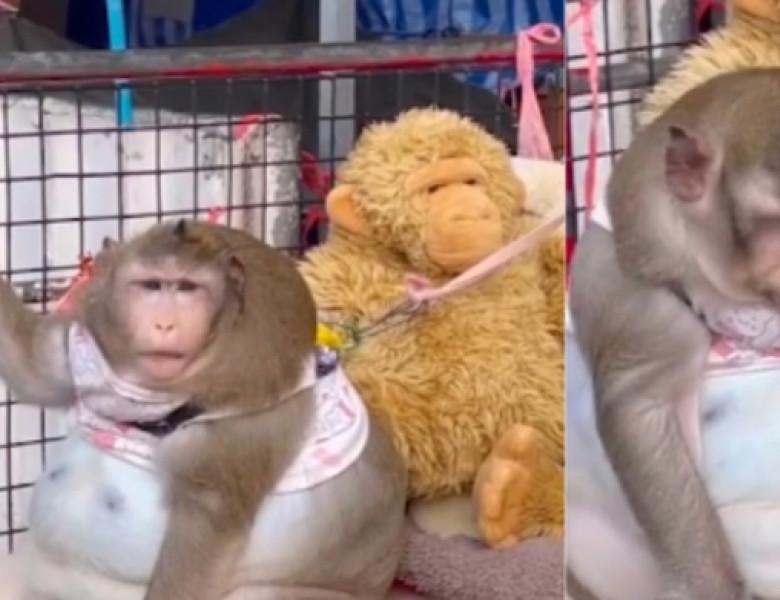 maimuta obeza