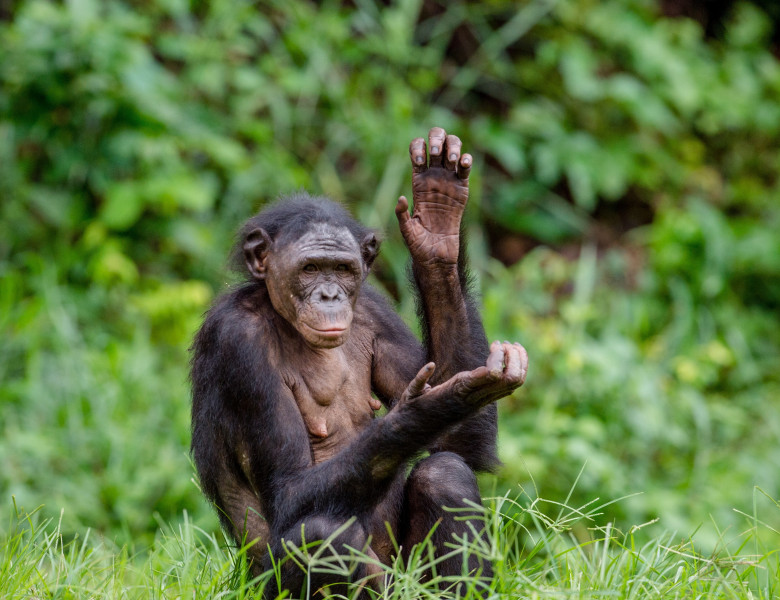 Adult,Female,Of,Bonobo,On,The,Green,Natural,Background,In