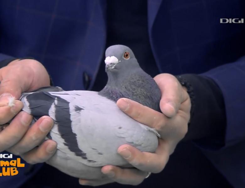 digi-animal-club-porumbei-voiajori3