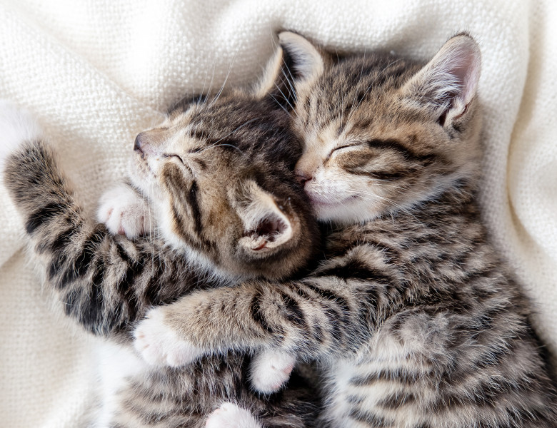 Two,Small,Striped,Domestic,Kittens,Sleeping,Hugging,Each,Other,At