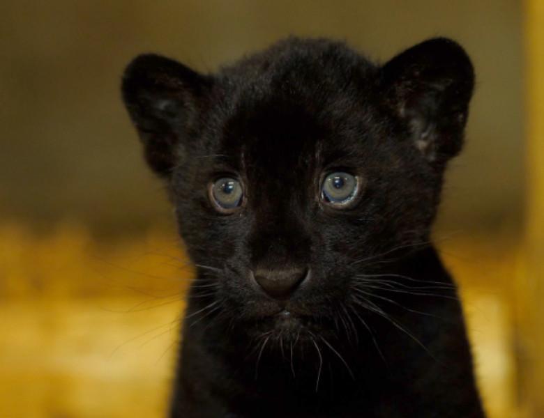 pui jaguar