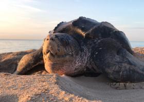 Leatherback,Sea,Turtle