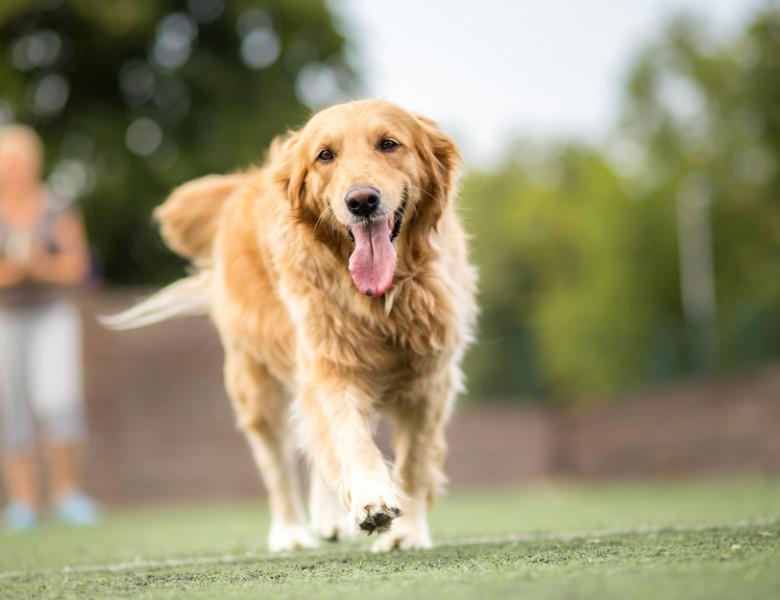 Golden Retriever, Foto: Shutterstock