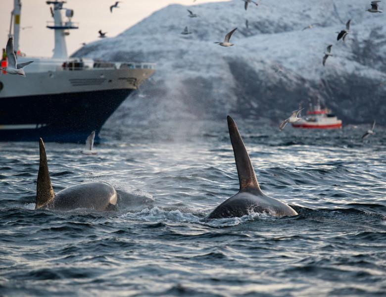 balene ucigase