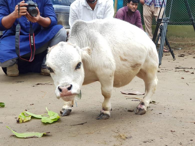 cea mai mica vaca din lume (5)
