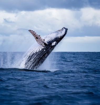 Humpback,Whale,Jumping,Out,Of,The,Water,In,Australia.,The