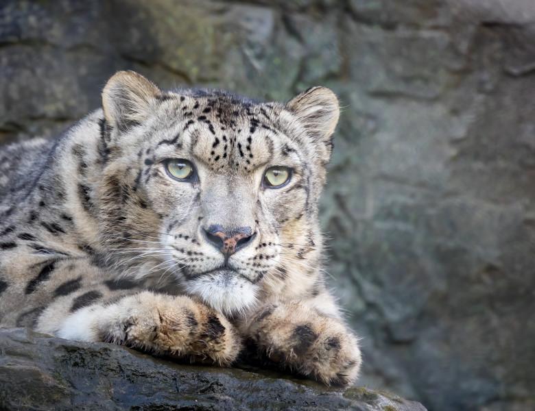 Closeup,Up,Of,An,Adult,Snow,Leopard,,Panthera,Uncia.