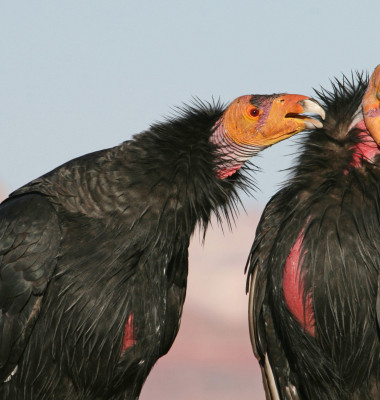The,California,Condor,Is,A,New,World,Vulture,,The,Largest