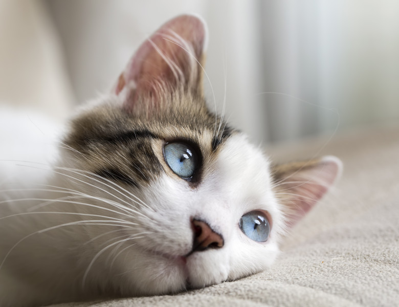 Blue,Eyed,Cat