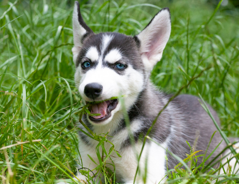 Cute,Siberian,Husky,Puppy,In,A,Meadow,Eating,Grass