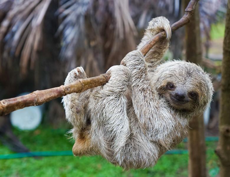 Sloths,In,Rescue,Centre,In,Costa,Rica,San,Jose
