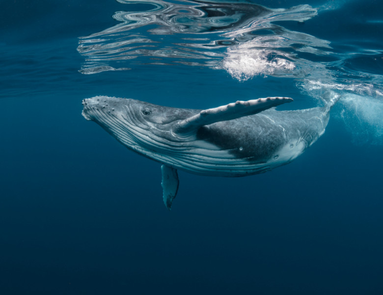 A,Baby,Humpback,Whale,Plays,Near,The,Surface,In,Blue