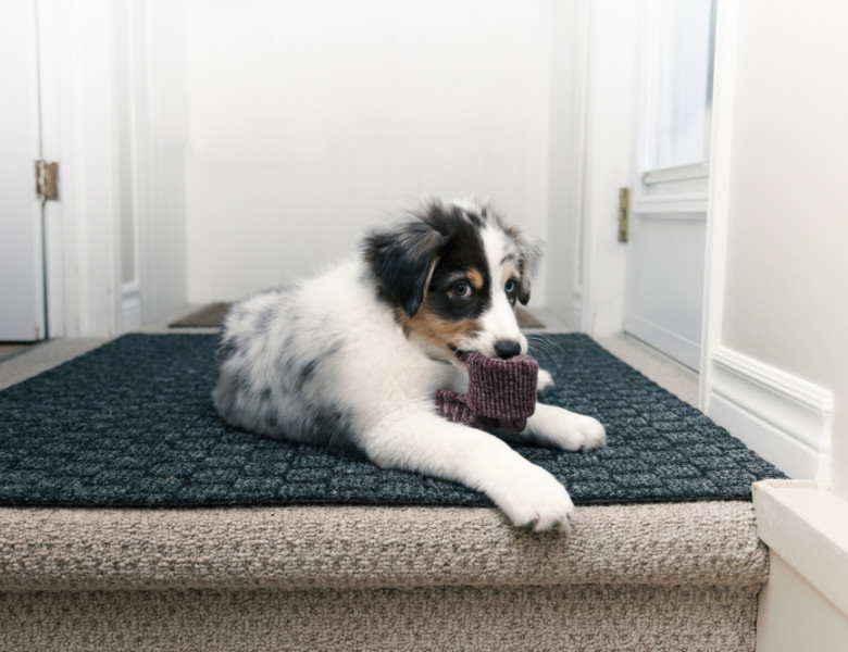 Eye-level,View,Of,Australian,Shepherd,Puppy,Looking,Guilty,While,Chewing
