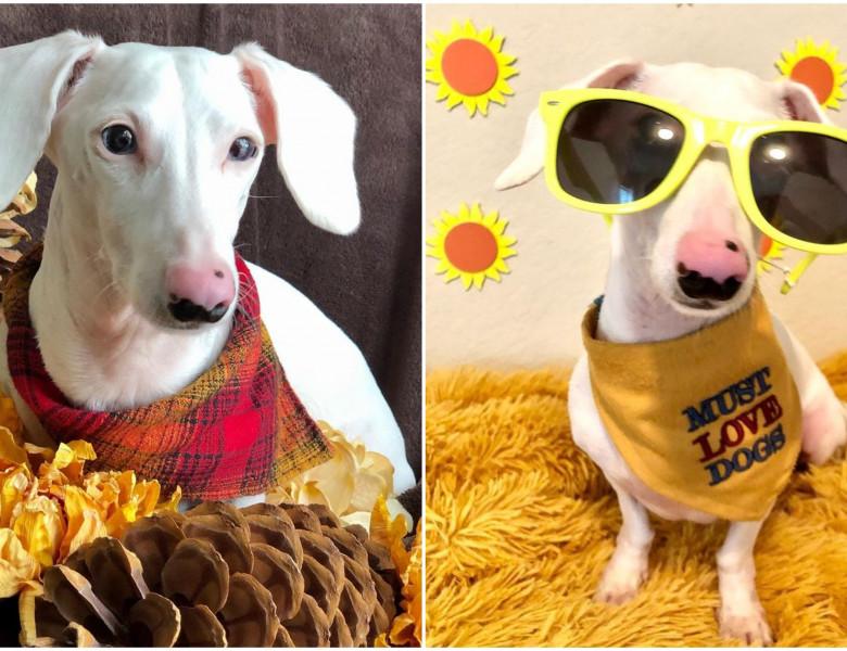 Un câine din rasa Teckel, care suferă de albinism, a devenit faimos pe Instagram