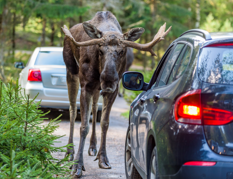 Moose,Bull,Looking,Into,A,Car,While,Standing,In,Its