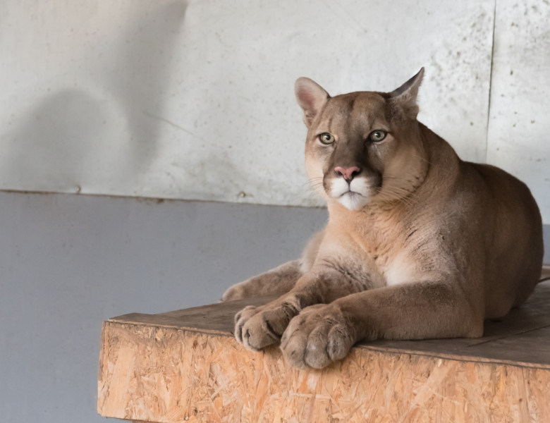 A,Canadian,Cougar,Rests,On,His,House,In,The,Zoo.