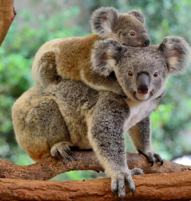 Mother,Koala,With,Baby,On,Her,Back,,On,Eucalyptus,Tree.
