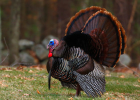 Wild,Turkey,With,Open,Wings,In,The,Woods,In,Massachusetts