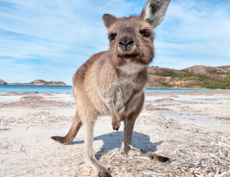 Kangaroo,On,The,Beach,Australia