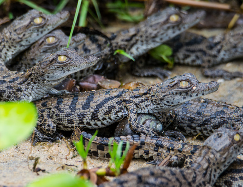 Nile,Crocodile,Babies,After,They,Hatched