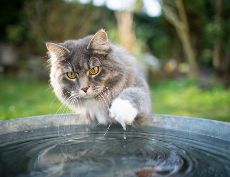 Blue,Tabby,White,Maine,Coon,Cat,Playing,With,Water,In