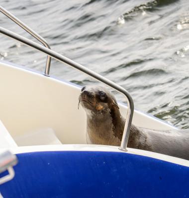 Sea,Lion,Climbs,On,A,Boat,,Walvis,Bay,,Namibia
