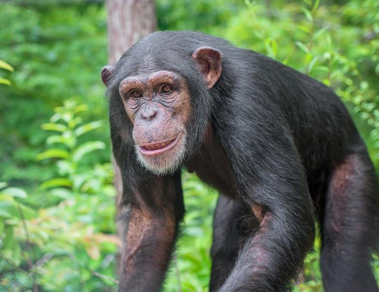 Captive,Chimpanzees,In,Outdoor,Habitat