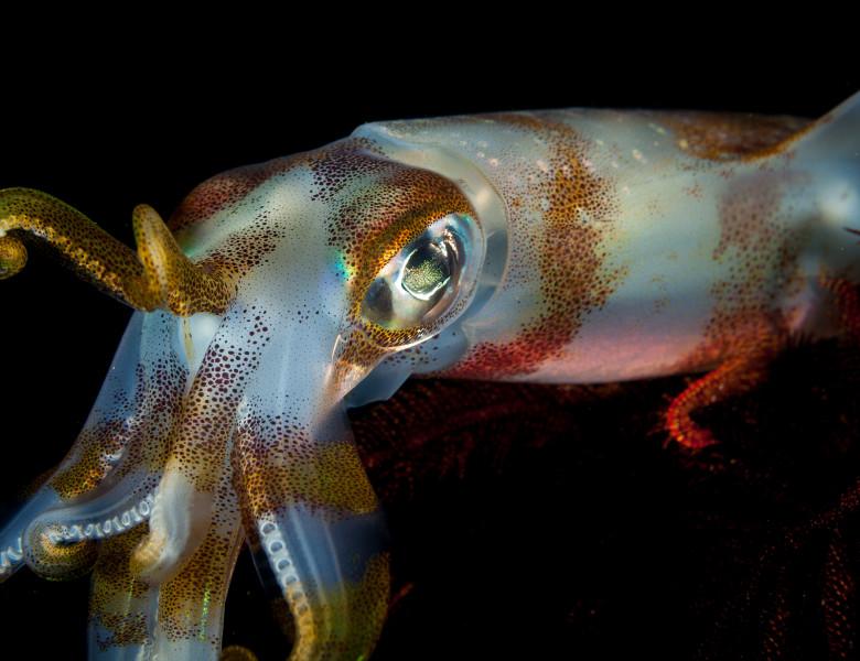 Bigfin,Reef,Squid,,Sepioteuthis,Lessoniana