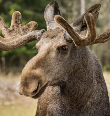 Closeup,Of,A,Large,Male,Moose,Buck,Standing,In,Sunlight