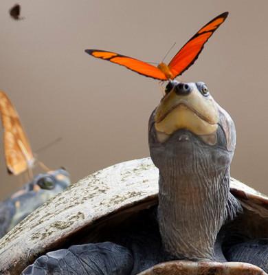butterflies-drink-turtle-tears-lacryphagy-ecuador-fb2
