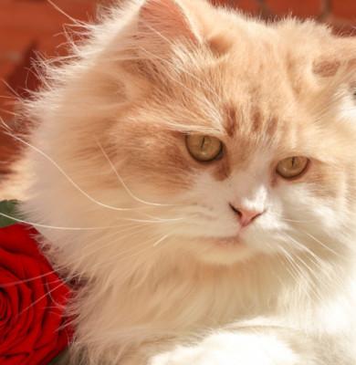 Pisică de rasă