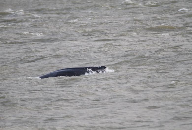 Balenă în Tamisa
