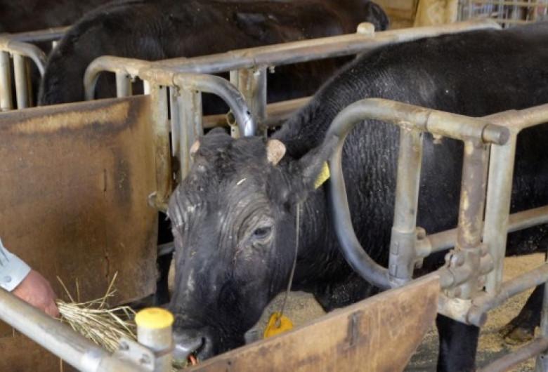 Prima vacă clonată din lume, Kaga