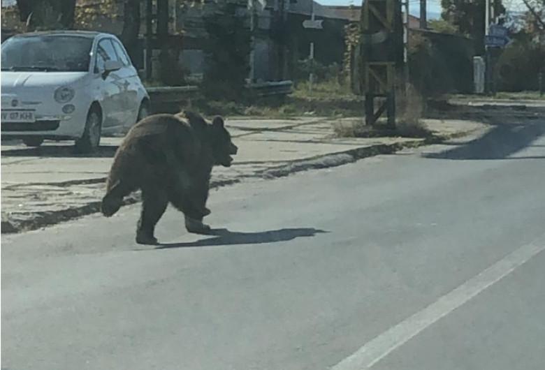 Urs pe stradă