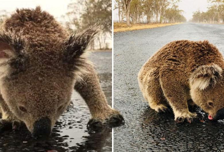 Urs koala bea apă de pe stradă