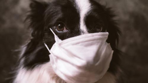 Câine, animal cu mască de COVID-19, SARS-CoV-2 coronavirus