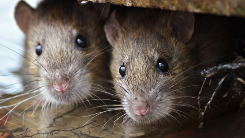 Șobolani, rozătoare, șoareci