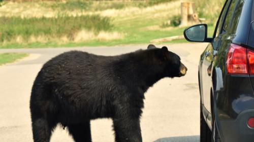Urs lângă mașină