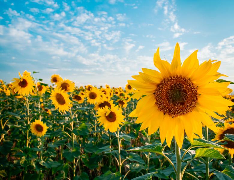 florea soarelui
