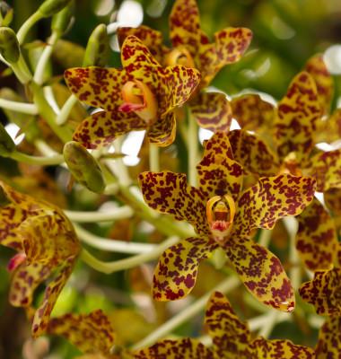 orhidee maimuta