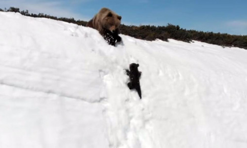 bear-pui-zapada-urcus