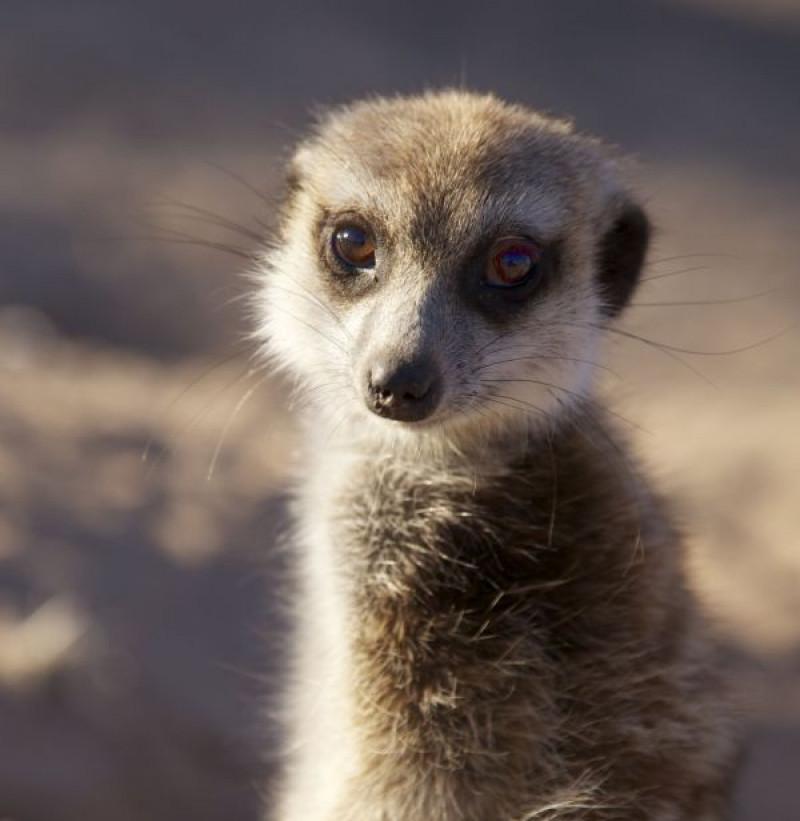 Meerkats - The Secrets of an Animal Superstar (Natural World)