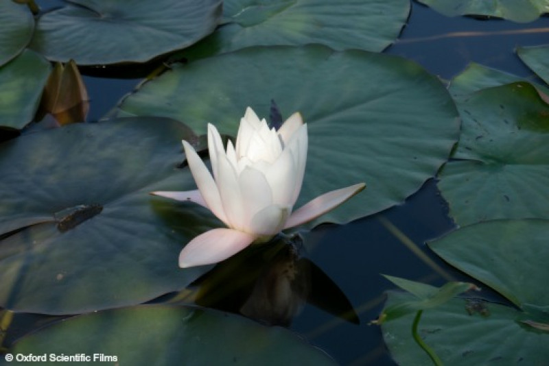 Picture Shows: White flowering Water Lily, Ventnor botanical garden, UK