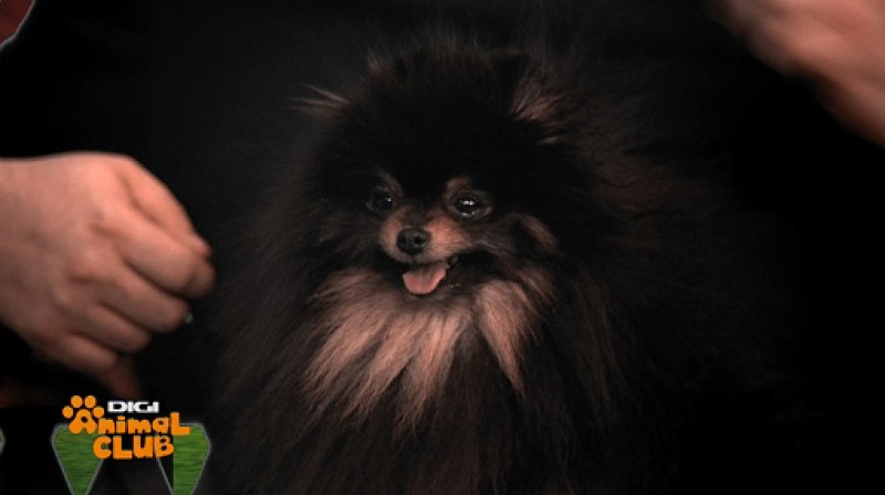 Digi Animal Club - Pomeranian - 1