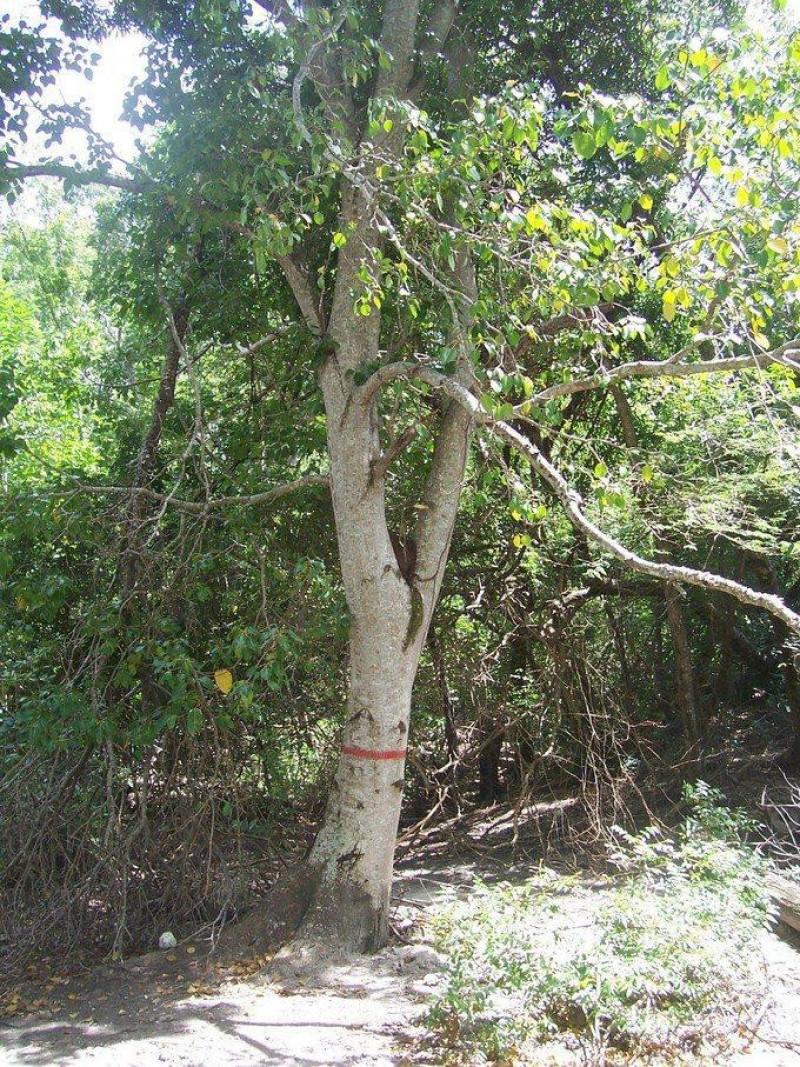 copacul mortii marcat