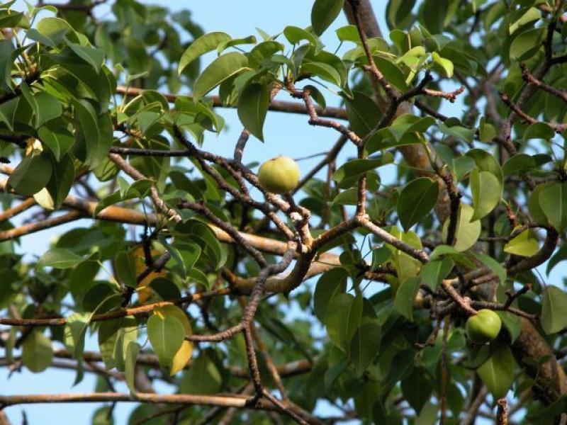 copacul mortii frunze