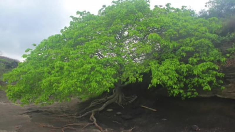 copacul mortii2